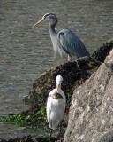 Egret and blue heron