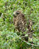 Hawk fledgling