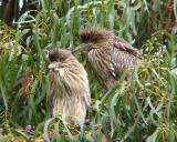 Young black-crowned night herons