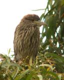 Young black-crowned night heron