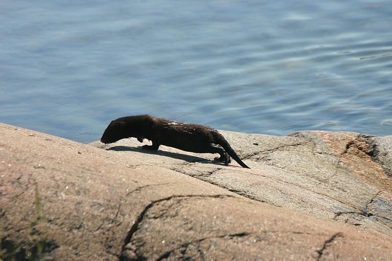 July 9: Mink on the cliffs