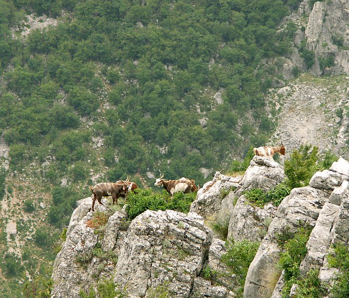 Goats in the Vratsata Gorge