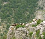 Goats in the Vratsata Gorge