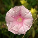 Flower after rain, Balkan Mountains