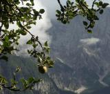 Alpine applies, near Srednji Vrh