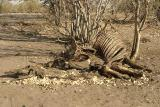 You don't see too many bones lying around (hyena, vultures, mice etc). This is a giraffe.