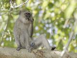 Vervet Monkey in a tree eating figs.