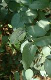 Eucalyptus shapes and shadows