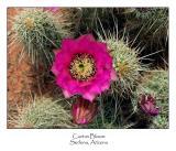 Cactus Bloom.jpg