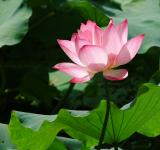 Lotus flower£NikonD70