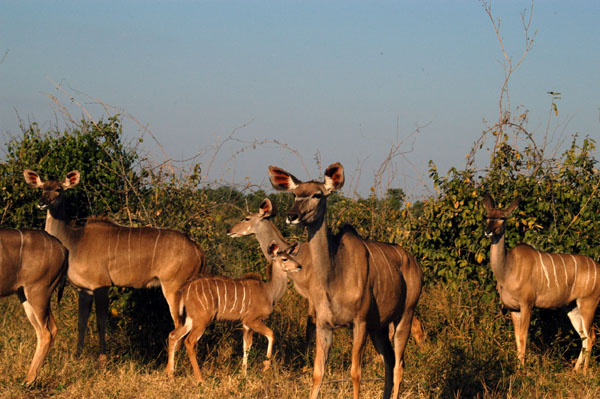 Herd of Greater Kudu does and young