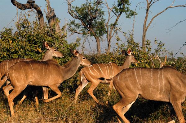 Greater Kudus, Chobe National Park