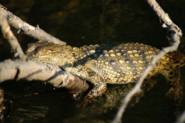 Baby crocodile on the Zambezi River Safari photo - Brian ...