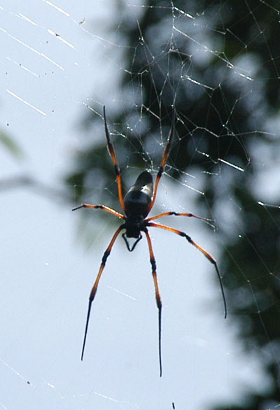 There are lots of big spiders in the Seychelles