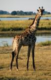 Giraffe at Chobe