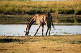 Giraffe drinking from the Chobe River