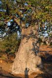 A huge baobab