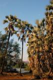 Palm grove near the camp