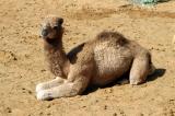 New camel, Al Ain Camel Market