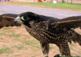 Falcon wings spread