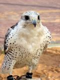 Another breed of Falcon