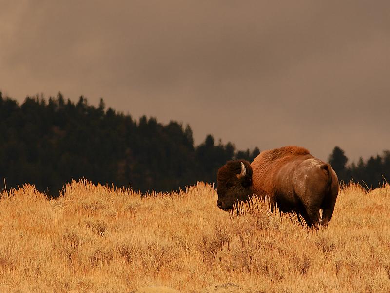 Bison 72