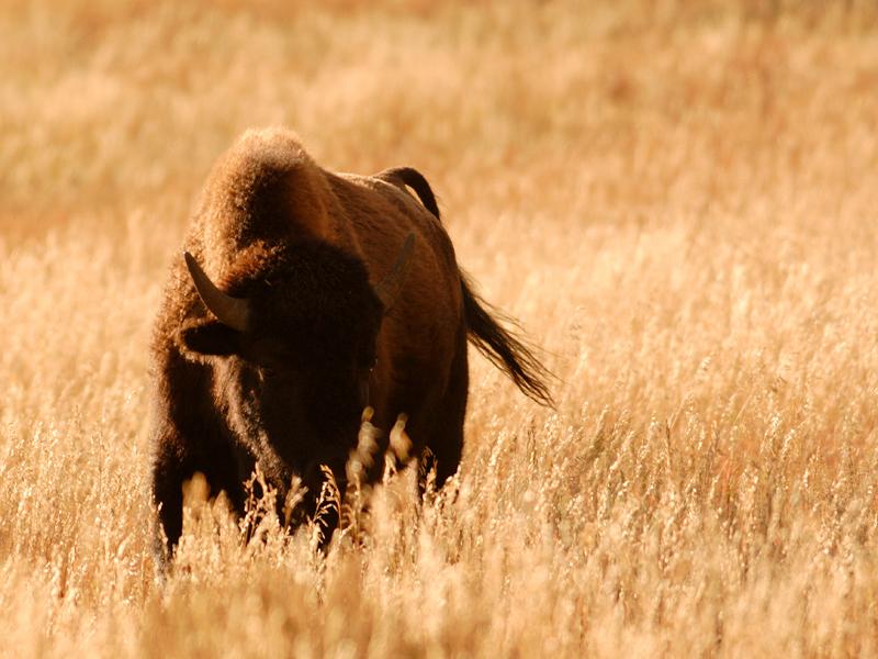 Bison 35