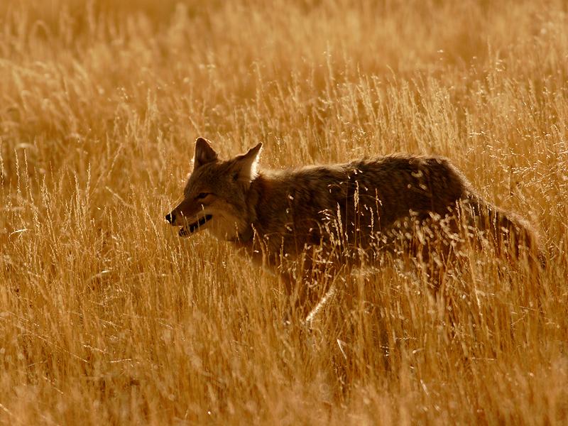 Coyote 40