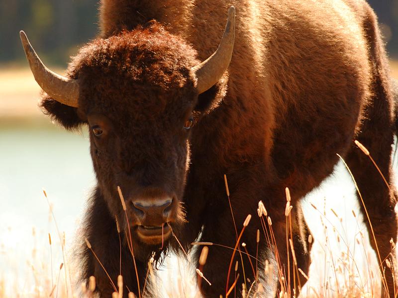 Bison 70