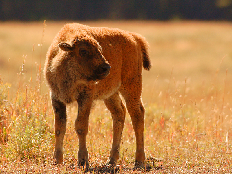 Bison 12