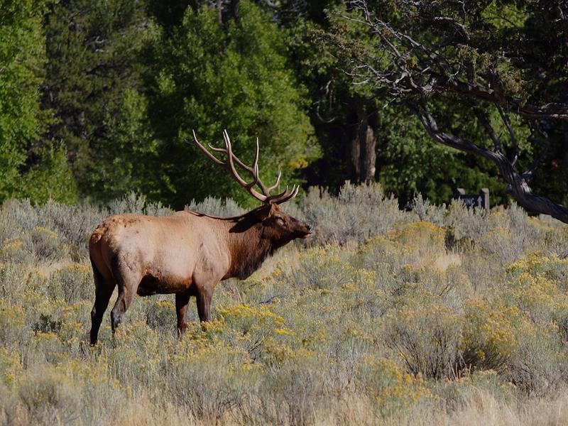 Elk 100