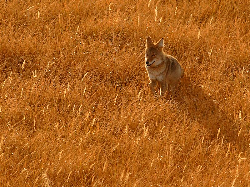 Coyote 120