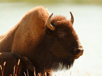 Bison 30