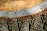 tree stump sapwood