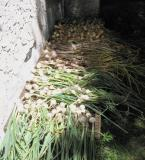 Garlic & Onion Crop 2005