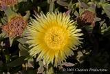 Desert Flower or Wüstenblume