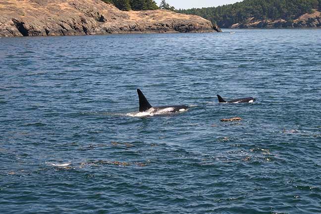 Killer whales copy.jpg