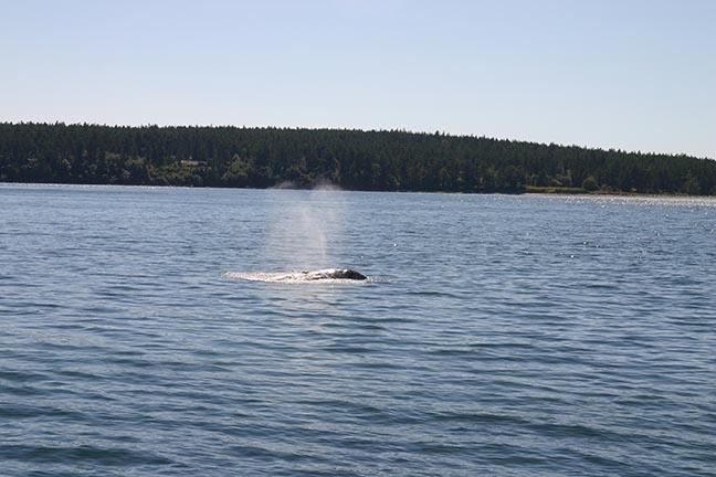 gray whale heart blow copy.jpg