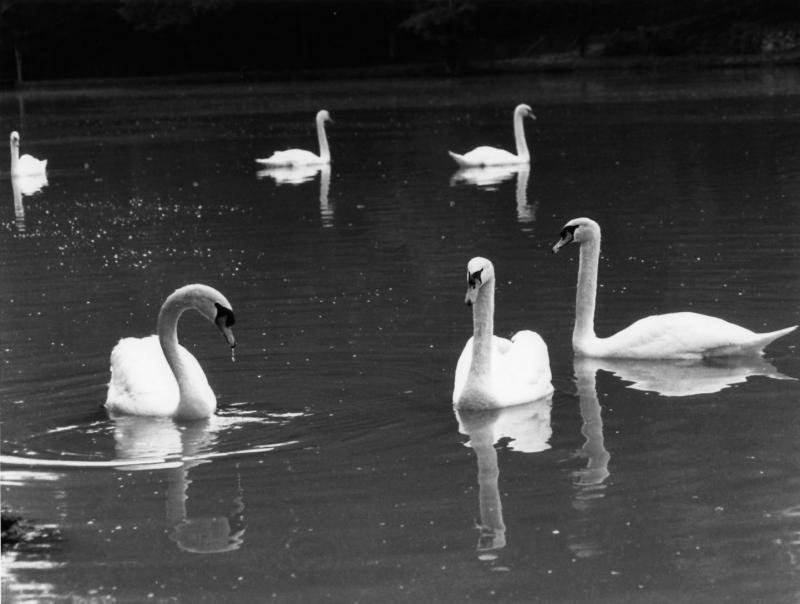swans-Darlington.jpg