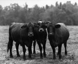 three cows.jpg