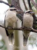 Male and female kookaburra