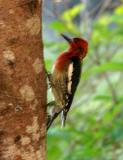 Red-breaster Sapsucker - Sphyrapicus ruber