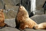 Northern (Steller) Sea Lion - Eumetopias jubatus