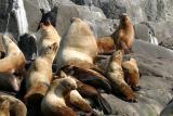 Northern (Steller) Sea Lions - Eumetopias jubatus