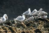 Glaucous-winged Gulls - Larus glaucescens