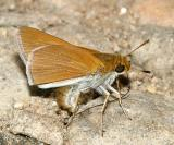 Two-spotted Skipper - Euphyes bimacula   (male)
