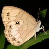 Appalachian Brown - Satyrodes appalachia