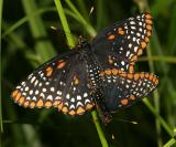 Baltimore Checkerspot - Euphydryas phaeton mating
