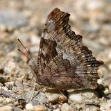Compton Tortoiseshell - Nymphalis vaualbum
