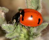 Transverse ladybeetle - Coccinella transversoguttata